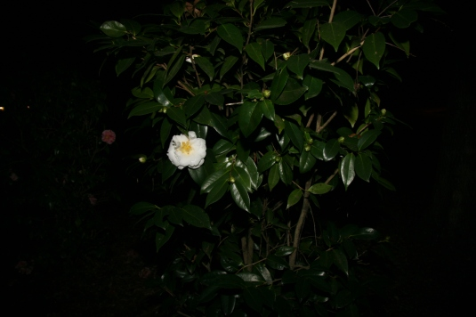 white camellia visible by flash