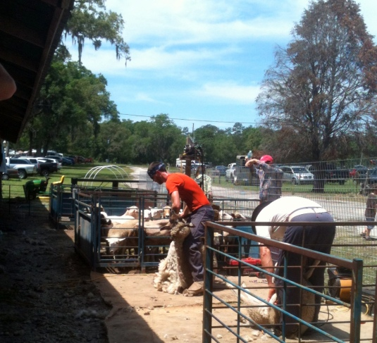 Sheep Shearing Time in Central Florida