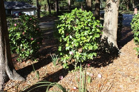 camellias in shadow